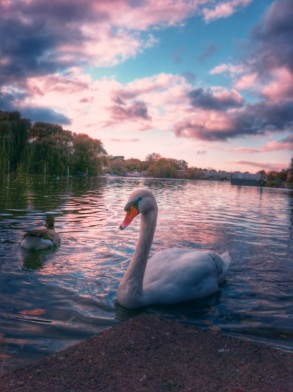 Swans on the river Thames. Taken & edited on iPhone 4