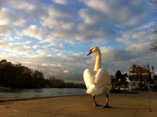 Richmond Swan. Taken on iPhone 4